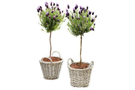 Set van 2 lavendelbomen in rieten mandjes