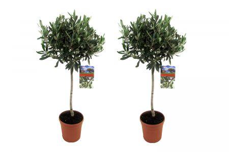 Set van 2 olijfbomen op stam