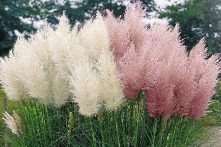 Set van 4 pampasgras planten