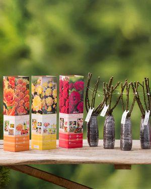 Set met mix van 6 Theehybride rozen