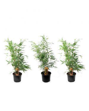 Set van 3 groene bamboe planten