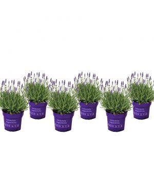 Set van 6 lavendelstruikjes