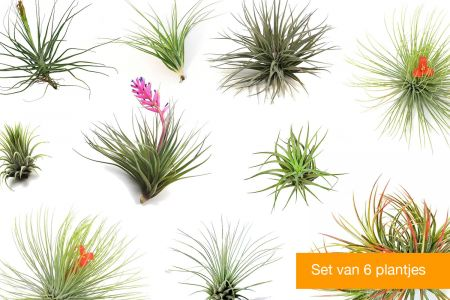 Set van 6 Tillandsia Airplants